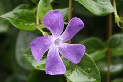 Цветок с падениями росы Стоковые Изображения RF