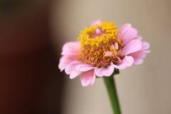 Цветок с розовыми лепестками и желтой внутренней Стоковая Фотография RF