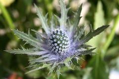 Цветок с терниями Стоковые Фото