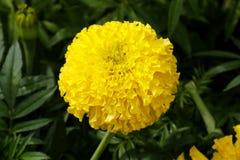 цветок тайский Стоковое Фото