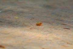 Цветок тамаринда - самостоятельно в свете дня Стоковое Фото