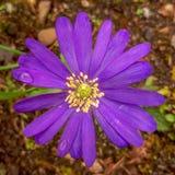 Цветок теней Blanda ветреницы голубой в саде Стоковое Фото