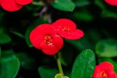 Цветок терния Христоса зацветая в саде Отмелый DOF Стоковое Фото