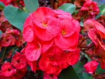 Цветок терния Христоса Стоковые Фотографии RF