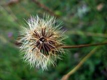 Цветок терния Стоковое Изображение