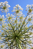 Цветок тимона Стоковое фото RF