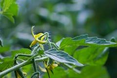 Цветок томата в парнике Стоковая Фотография
