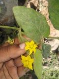 Цветок томата стоковые фотографии rf