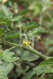 Цветок томата Стоковое Изображение RF