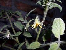 Цветок томата Стоковое фото RF