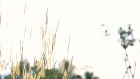 Цветок травы двинутый ветром лета видеоматериал