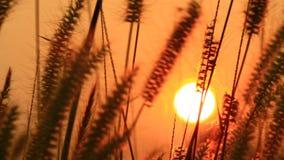 Цветок травы двинутый ветром лета акции видеоматериалы