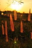 Цветок травы на заходе солнца Стоковые Изображения RF