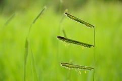 Цветок травы на зеленой предпосылке Стоковое Изображение