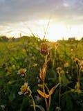 Цветок травы под солнечным светом Стоковая Фотография
