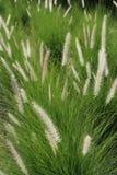 Цветок 1 травы Стоковая Фотография RF