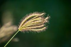Цветок травы стоковая фотография rf