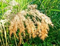 Цветок тростников в одичалом Стоковые Фотографии RF