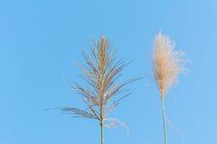 Цветок тростников против голубого неба стоковые изображения rf