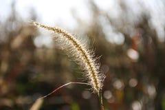 Цветок тростников Стоковое Изображение