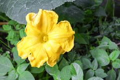 Цветок тыквы Муравей на желтых цветках тыквы Стоковая Фотография