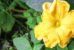 Цветок тыквы Муравей на желтых цветках тыквы Стоковые Изображения