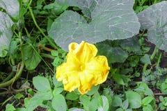 Цветок тыквы Муравей на желтых цветках тыквы Стоковая Фотография RF