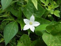 Цветок тыквы плюща Стоковая Фотография