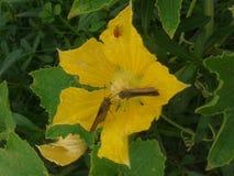 Цветок тыквы Стоковое Изображение RF
