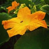 Цветок тыквы стоковое изображение