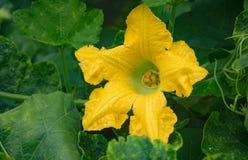 Цветок тыквы Стоковая Фотография
