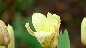Цветок тюльпана в дожде акции видеоматериалы