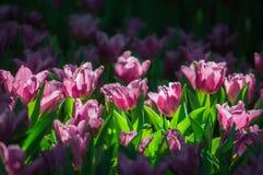 Цветок тюльпана зацветает в саде Стоковые Фото