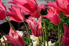 Цветок 02 тюльпана тросточки конфеты Стоковые Фото