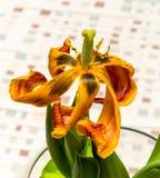 Цветок тюльпана вянуть Стоковые Изображения