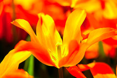 Цветок тюльпана в полном цветени стоковое фото rf