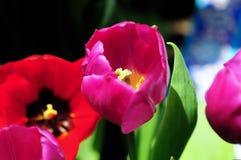 Цветок тюльпана в полном цветени стоковые фото