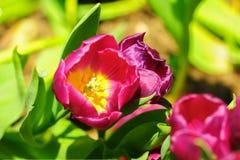 Цветок тюльпана в полном цветени стоковая фотография