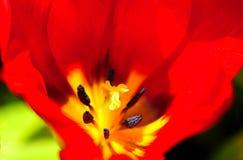 Цветок тюльпана в полном цветени стоковая фотография rf
