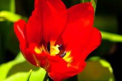 Цветок тюльпана в полном цветени стоковые изображения