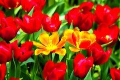 Цветок тюльпана в полном цветени стоковые изображения rf