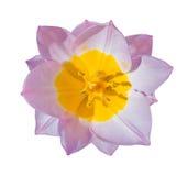 Цветок тюльпана конца-вверх красивый изолированный на белизне Стоковые Фото