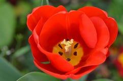 Цветок тюльпана крупного плана Стоковая Фотография RF