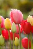 Цветок тюльпана на праздник Стоковое фото RF