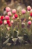 Цветок тюльпана на праздник Стоковые Изображения RF