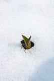 Цветок тюльпана приходя вне от реального снега Стоковое Изображение