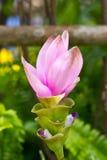 Цветок тюльпана Сиама. Стоковая Фотография RF