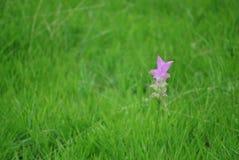 Цветок тюльпана Сиама Стоковая Фотография