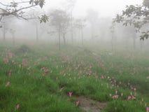 Цветок тюльпана Сиама Стоковые Фотографии RF