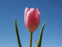 Цветок тюльпанов Стоковое фото RF